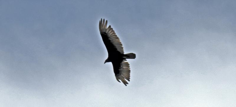 Vultures!